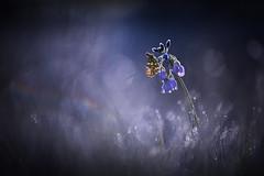 Le temps des Aurores (Elias macro proxy photographies) Tags: nature bleu blue mauve cardamine fleur flowers macro proxy papillon aurore printemps lumière ambiance givre froid canon6d canon70200f4lusm