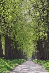 Road to castle Wissekerke - Bazel - Belgium (roland_tempels) Tags: belgium bazel lane trees supershot nature sunlight springtime