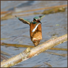 Kingfisher (image 3 of 3) (Full Moon Images) Tags: suffolk wildlife trust lackford lakes nature reserve bird kingfisher fish flight flying