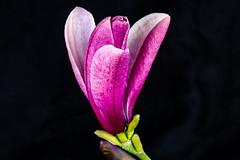 6M7A5514 (hallbæck) Tags: magnolie magnolia tulipantræ træ tree blomst flower flora fiore flore mh hørsholm denmark macro canoneos5dmarkiii ef100mmf28lmacroisusm forår spring natur nature flowerscolors
