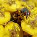 Mouche verte sur fleurs jaunes