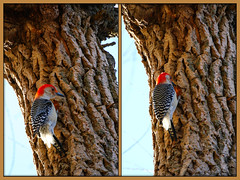 "' Red-bellied Woodpecker : (Darrell Colby "" You Call The Shots "") Tags: redbelliedwoodpecker woodpecker londonontario darrellcolby"