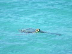 Sea Turtle (D-Stanley) Tags: seaturtle oistins barbados caribbean