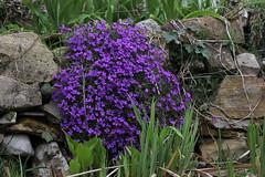 Resistenza (lincerosso) Tags: giardinoroccioso rockgarden pianteerbacee piantericadenti aubretiadeltoidea coloreviola primavera spring bellezza armonia resistenza montagna