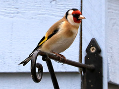 Goldfinch (Carduelis carduelis) (Dave Russell (1.3 million views thanks)) Tags: lagg kilmory isle island arran clyde west western scotland ecosse goldfinch gold finch bird animal nature wild wildlife garden outdoor photo photograph photography canon eos eos7d 7d carduelis