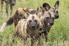 IMG_7169 (Rorals) Tags: dog wilddog nature wildlife wildlifephotography animal mammal canine safari africa southafrica