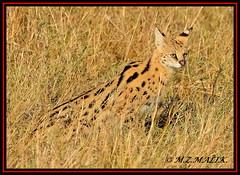 SERVAL CAT (Felis serval)....MASAI MARA....OCT 2012 (M Z Malik) Tags: nikon d3x 200400mm14afs kenya africa safari wildlife masaimara keekoroklodge exoticafricanwildlife exoticafricancats exoticcats ngc npc