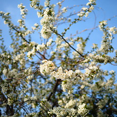 Spring Blossom (davepickettphotographer) Tags: days project 365 gardenpicture woodland huntingdon buckden springtime blossom tree cambridgeshire gardening garden spring