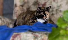 Isis on her chair & robe (Donald.Gallagher) Tags: animals blur cats contrast crop de delaware felines horizontal isis layers lenstagger mammals masking nature newcastlecounty noisereduction northamerica pikecreek public sharpening spring tortoiseshell typecolor typelightroom typephotoshop typeportrait typetelephoto usa woodcreek