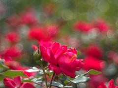 P1010021 -1R (hyphy2008) Tags: jupiter 8m f2 bokeh m43 flower garden
