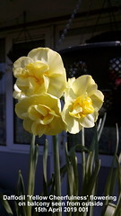 Daffodil 'Yellow Cheerfulness' flowering on balcony seen from outside 15th April 2019 001 (D@viD_2.011) Tags: daffodil yellow cheerfulness flowering balcony seen from outside 15th april 2019
