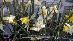 Mini-Daffs flowering on balcony seen from outside 15th April 2019 004 (D@viD_2.011) Tags: minidaffs flowering balcony seen from outside 15th april 2019