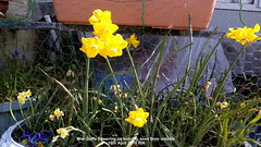 Mini-Daffs flowering on balcony seen from outside 15th April 2019 006 (D@viD_2.011) Tags: minidaffs flowering balcony seen from outside 15th april 2019