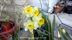 Mini-Daffs flowering on balcony seen from outside 15th April 2019 008 (D@viD_2.011) Tags: minidaffs flowering balcony seen from outside 15th april 2019