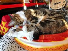 lili-trop-chou© (alexandrarougeron) Tags: photo alexandra rougeron lili chat minou chou bébé belle beauté félin féline mignonne