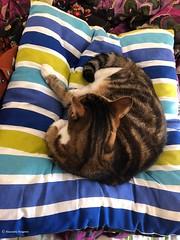 lili-coussin© (alexandrarougeron) Tags: photo alexandra rougeron lili chat minou chou bébé belle beauté félin féline mignonne