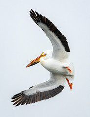 Monona-Bay-Pelican_MFD2813-FLNS (M F Davis) Tags: americanwhitepelican mononabay madisonwisconsin madison wisconsin bay lake water large bird white flying flight pelican lakemonona