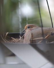 (kecotting) Tags: dove bird nesting mourningdove nature outdoors spring springtime reflections glass window prism animals nest basket fujifilm xt2 backyard
