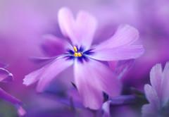 Merveille mauve.... (Evim@ge) Tags: elements fleur flower fleurs printemps printanier spring purple violet mauve macro jardin