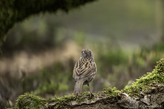 Looking to the Great Unknown (Corine Bliek) Tags: bird birds vogel vogels natuur nature wildlife prunellamodularis