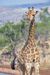 A giraffe standing in the safari park (Tambako the Jaguar) Tags: giraffe standing posing savanna lanscape vegetation safari portait sunny ruminant lionsafaripark johannesburg southafrica nikon d5