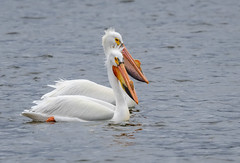Monona-Bay-Pelicans_MFD3208-FLNS-6 (M F Davis) Tags: mononabay madisonwisconsin madison wisconsin bay lake water large bird white pelican americanwhitepelican monona lakemonona