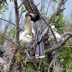 Anhinga Bird Feeding Babies (Glenn Hultgren) Tags: glennhultgrenphoto bird birds anhinga wildlife wildlifephotography