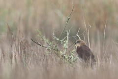 CIRCUS AEROGINOSUS (Gilberto Viana) Tags: bird ria de aveiro vagos boco natureza biodiversidade passaros rapinas