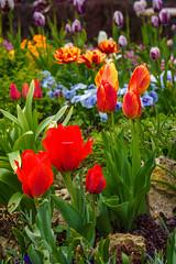 Bunte Tulpen (KaAuenwasser) Tags: bunt farben tulpen blumen blüten blüte pflanzen beet anlage garten botanischergarten karlsruhe frühling