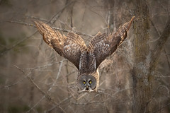 Great Grey owl in flight after leaving branch on tree (dwb838) Tags: branches flight greatgreyowl