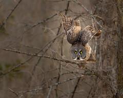 Great grey owl taking off (dwb838) Tags: 8x10 greatgreyowl branches takeoff tree