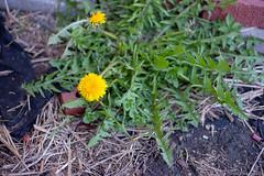 Dandelion (dustin.chew) Tags: pretty getoutside spring ruralexploration rural indiana trbrural 765