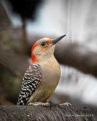 Red-bellied Woodpecker 6-2 (strjustin) Tags: redbelliedwoodpecker woodpecker bird beautiful animal