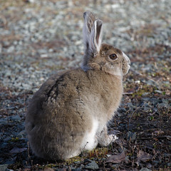 An Easter bunny (jbinpg) Tags: snowshoehare lepusamericanus princegeorge bc canada