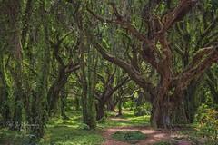 The Enchanted Honolua Forest (Freshairphotography by Janis Morrison) Tags: honoluaforest honoluabay maui mauihawaii ilovemaui tropicalforest tropical monkeypodtrees trees trail greens hawaii goldenpothosvines catsclawvines forest enchanted fairytalelike westmaui vines nature