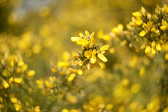 Spring Heathland... (KissThePixel) Tags: heathland heath nature spring april vintage vintagelens bokeh dreamybokeh dreamy yellow gold flowers helios helios44m 58mm macro makro nikon nikondf manuallens f2 yellowheath
