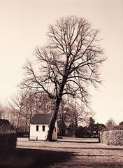 På skrå (LarsHolte) Tags: pentax 645 pentax645 645n 6x45 smcpentaxfa 75mm f28 120 film 120film analog analogue foma fomapan fomapan100 fomapan100professional 100iso mediumformat blackandwhite classicblackwhite bw monochrome filmforever filmphotography caffenolc ishootfilm larsholte homeprocessing denmark danmark tree
