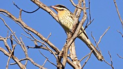 Spiny-cheeked Honeyeater (Rodger1943) Tags: sonyrx10m4 spinycheekedhoneyeater australianbirds honeyeaters