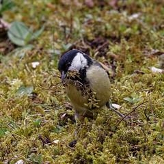 Mrs Tit will surely love our nest!  - I (wolfgang.kynast) Tags: vögel meise schwarzkopfmeise friedhof cemetery