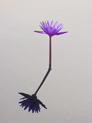 Shadow or Reflection? (Steve Taylor (Photography)) Tags: shadow reflection waterlily brown mauve purple pastel minimalism minimalist water pond asia city singapore flower