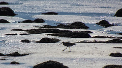 Curlew, Moray Firth (prajpix) Tags: bird birdwatching wader curlew backlit seaweed sand mud ornithology nature beach mudflats rosshire highlands scotland
