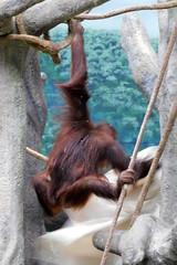 Brookfield Zoo (Tiger_Jack) Tags: brookfieldzoo zoo zoos zoosofnorthamerica itsazoooutthere primate primates orangutan orangutans