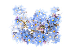 22/100 Forget-me-not (JulieMeakins) Tags: 100xthe2019edition 100x2019 image22100 forgetmenot