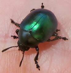 Leaf Beetle, Leptinotarsa haldemani, Patagonia Lake State Park, AZ (Seth Ausubel) Tags: coleoptera chrysomelidae chrysomelinae az