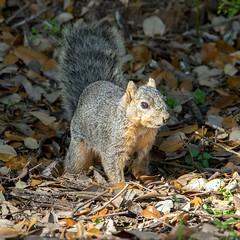 Grey Squirrel (Ed Sivon) Tags: america canon nature wildlife wild western southwest flickr texas galveston