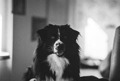 Rian 🐾 (unbunt.me) Tags: meinfilmlab film analog wwwmeinfilmlabde aussie kodak nikonfe blackandwhite blackwhite nikon p3200 bw dog hoffnungs hund australianshepherd