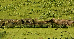 Alligator or an empty log?? (richardsscenery) Tags: brazosbendstatepark alligator alligatorstatepark alligatorpark gator gatorskin alligatorskin pond swamp lillypads dragonfly bluedragonfly hiking texas hikingtexas hikingtexasstateparks duckweek greenwater algae predator snakeeyes claws reptile deadlyanimal nikoncamera gods creation