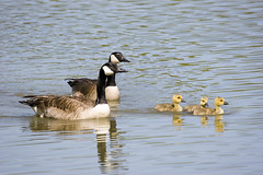 Family Time II (Daniel0556) Tags: angelic animal aquatic avian baby bill bird canada canadian child couple family feather flap float fly fowl fuzzy gander glide gold goose gosling graceful group honk inspirational inspire kids lake love migration migratory motivation nature outdoor pair parade play pond recreation reflection serene serenity spring swim together trail wing zoology