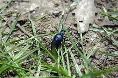Averdon (Loir-et-Cher) (sybarite48) Tags: averdon marolles loiretcher france grandpierreetvitain meloeviolaceus meloeviolet insecte insekt insect حشرة 昆虫 insecto έντομο insetto owad inseto насекомое böcek coléoptère beetle käfer خنفساء 甲虫 escarabajo σκαθάρι scarafaggio ビートル kever chrząszcz besouro жук