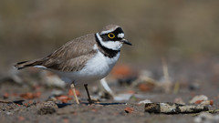 Little ringed plover (JS_71) Tags: nature wildlife nikon photography outdoor bird new spring see natur pose moment outside animal flickr colour poland sunshine beak feather nikkor d500 wildbirds planet global national wing eye watcher 600mm